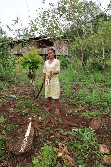 Récolte du manioc