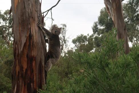 Koala à Kennett River