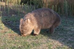 Wonbat à Wilson Promontory National Park