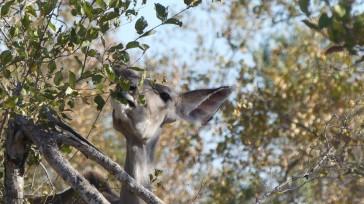 Une femelle grand koudou