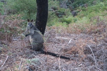 Bush Wallabie